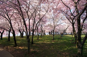 washington dc cherry blossoms