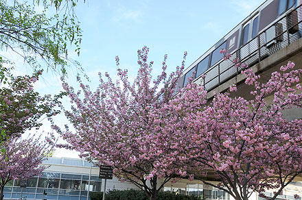 Metro Cherry Blossoms